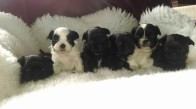 1 Ewok Puppies Sept 15