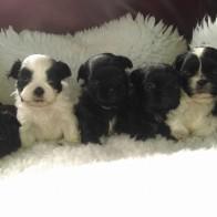 1 Ewok Puppies Sept 15